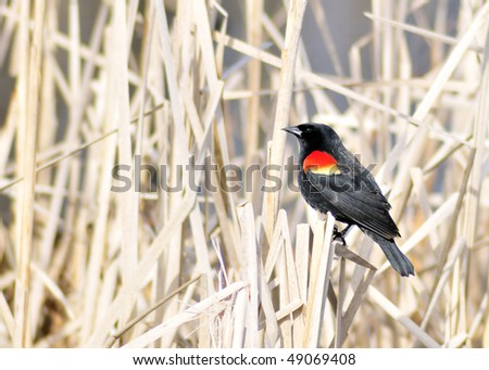 A red-winged blackbird perched on a marsh reed.