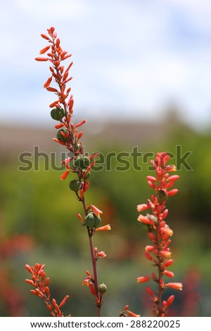 A red yucca bloom flower, with seed pods growing on the stem, as well.  - stock photo