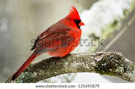 A Redbird sits on a tree limb amidst the snow. - stock photo