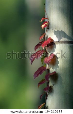 A reddish colored vine with pointed leaves against a pole. - stock photo
