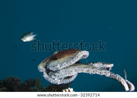 A Reef octopus (Octopus cyaneus) swimming above the reef during an early morning forage. Red Sea, Egypt.