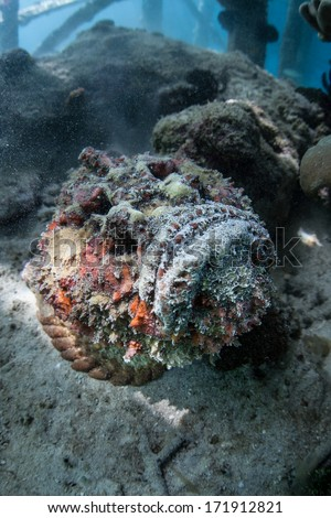 A reef stonefish (Synanceia verrucosa) blends into a coral reef in the western Pacific. This is the most venomous fish in the world and is also a well-camouflaged ambush predator. - stock photo