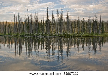 A reflection of a burned pine forest on Lewis Lake in Yellowstone National Park, Wyoming - stock photo