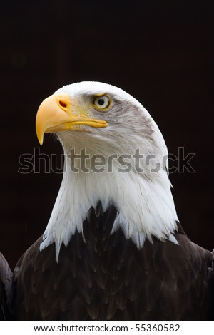 A Regal looking Bald Eagle with small rain drops on head  looking to the side with a black background - stock photo