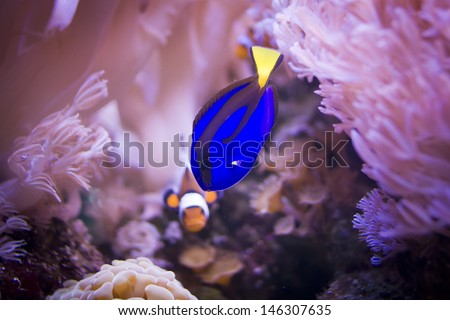 A regal tang and a clownfish in the middle of some anemones.