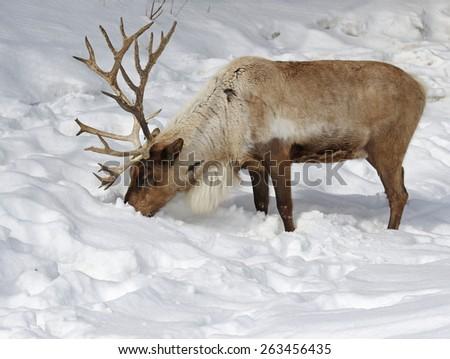 A Reindeer (Rangifer tarandus) feeding in the snow.  - stock photo