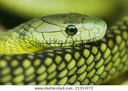 a resting green mamba - stock photo