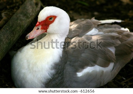 A resting Muscovy Duck (Cairina moschata) which originates from Brazil.