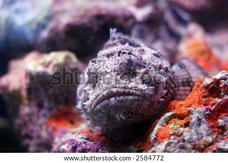 A resting scorpion fish - stock photo
