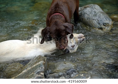 A retriever drowns a young feral goat in the river - stock photo