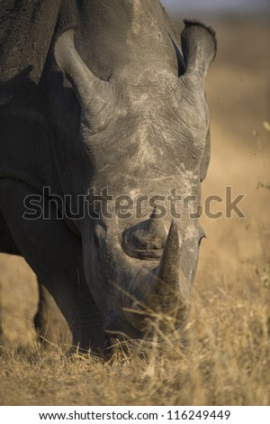 A Rhino grazes close to the photographer