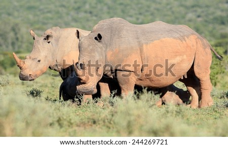 A rhinoceros grazing with another blurred behind him. - stock photo