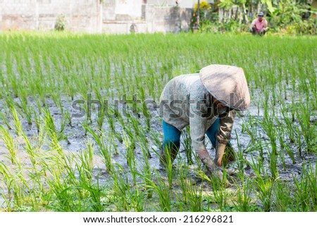 A rice farmer works the crops of rice fields on a hot sunny afternoon near Ubud, Bali, Indonesia - stock photo