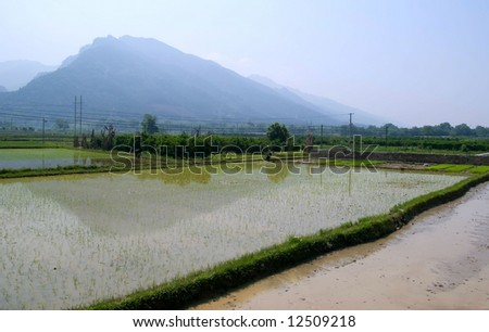 A rice-field at China. In just a few months the paddy will be harvested into rice. - stock photo