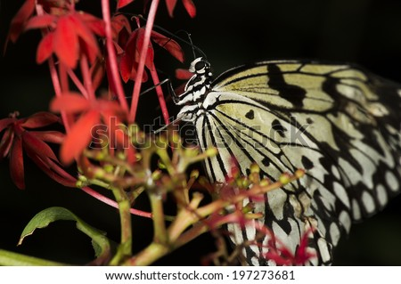 A rice paper butterfly (Idea leucone), or large tree nymph of the Nymphalidae family.  - stock photo