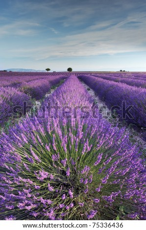 A rich lavender field in Provence, France in the early hours of the morning - stock photo