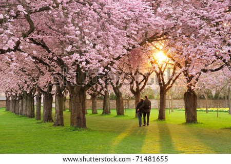 A richly blossoming cherry tree garden at sunset being peacefully enjoyed by a walking couple