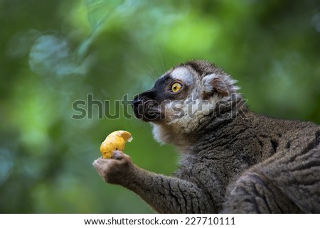 A ring-tailed lemur in the forest of Madagascar - stock photo