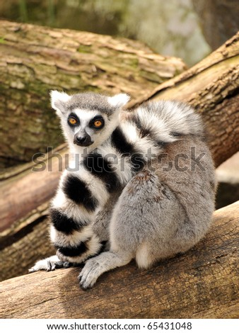 A ring-tailed lemur is sitting on a tree trunk - stock photo
