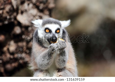 A ring-tailed lemur (Lemur catta) is eating a fruit - stock photo