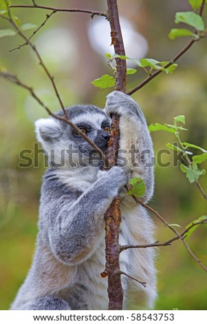 A ring-tailed lemur playing in the trees - stock photo
