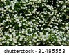 A riot of white camellia (Camellia japonica) flowers in springtime. - stock photo