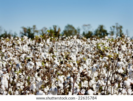 A ripe cotton field ready for harvest - stock photo