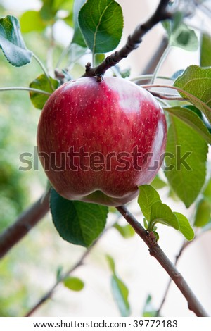 A ripe red apple hanging in a tree