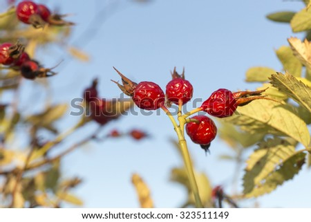 a ripe rose hip berries. - stock photo