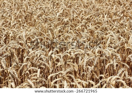 A ripe wheat field shortly before harvest - stock photo
