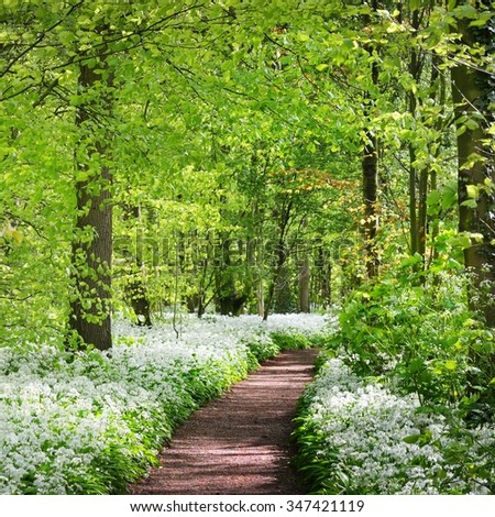 A road in the forest and the blooming wild garlic (Allium ursinum) in Stochemhoeve, Leiden, the Netherlands