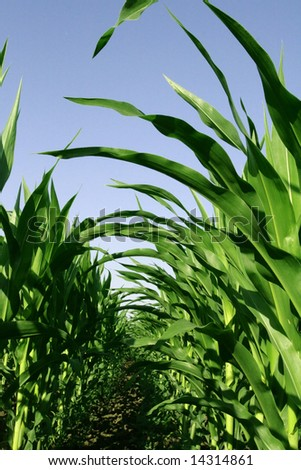 a road is in the leaves of corn - stock photo