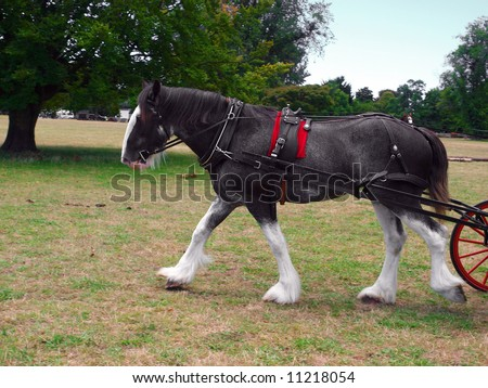 A roan clydesdale striding out with the carriage just coming in sight - stock photo