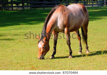 A roan horse grazes contentedly in a pasture - stock photo