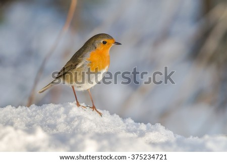 A robin redbreast in the snow  is searching for fodder - stock photo