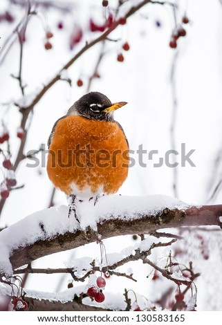 A robin rests upon a crabapple tree branch covered in snow. - stock photo