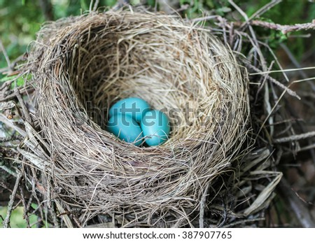 A robin's nest with three eggs in it - stock photo