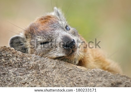 A Rock or Cape Hyrax (Procavia capensis) sleeps on a rock in the Serengeti in Tanzania, Africa. These primitive mammals are often mistaken for rodents, but are more closely related to elephants. - stock photo