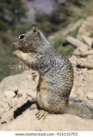 A Rock Squirrel Perched on a Rock in the Grand Canyon - stock photo