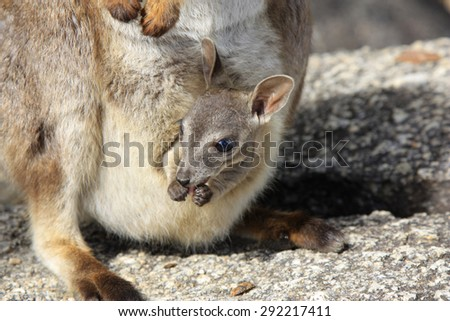 a rock wallaby with a young joey in mothers pouch at Granite Gorge near Mareeba - stock photo
