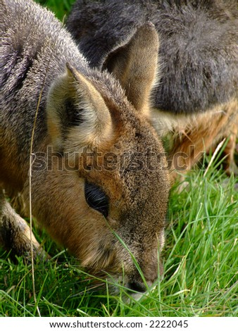 A rodent pictured eating grass - stock photo
