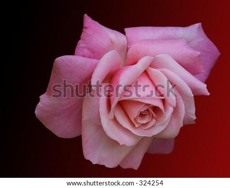 A rose - stock photo