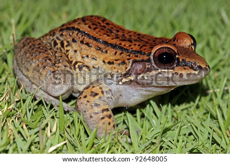 A Rose-backed Thin-toed Frog (Leptodactylus rhodonotus) sitting in grass in the Peruvian Amazon - stock photo