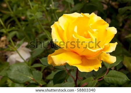A rose is a perennial flower shrub or vine of the genus Rosa, within the family Rosaceae, that contains over 100 species and comes in a variety of colours. - stock photo