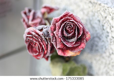 A rose on a grave with ice in winter