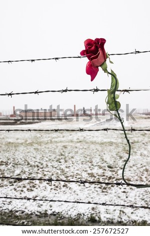 Rose On Barbed Wire Fence Snow Stock Photo (100% Legal Protection ...