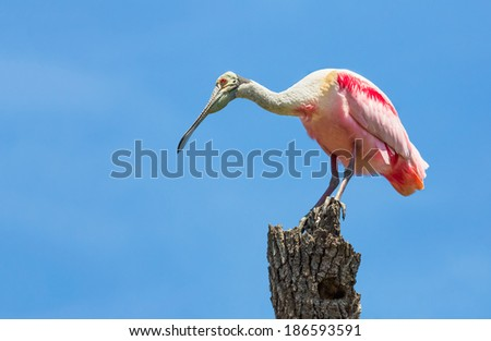 A roseate spoonbill perches on a tree trunk in St. Augustine, Florida. This odd wading bird causes many a tourist to think they have seen a flamingo. - stock photo