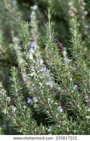 A rosemary (Rosmarinus officinalis) shrub with flowers - stock photo