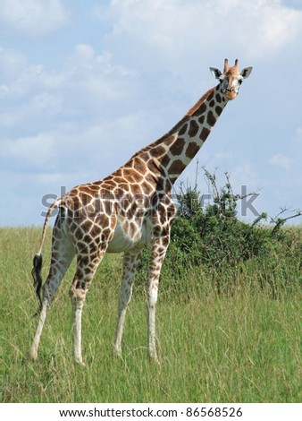 a Rothschild Giraffe in Uganda (Africa) while standing in grassy savannah - stock photo