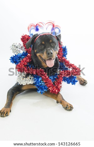 A rottweiler dog wearing stars around neck and patriotic head topper - stock photo